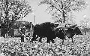 Oxen - plow - cabin