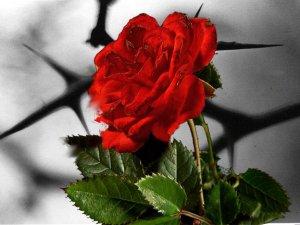 honey-treasures-thorny-rosebushes-53521