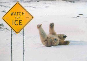polar-bear-slipping