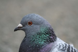 Pigeon_close-up