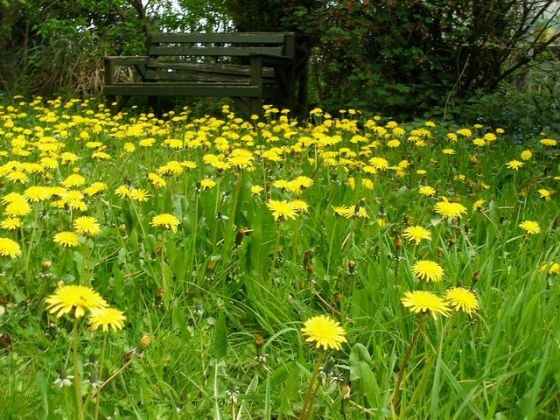 lawn_care_dandelion_weeds
